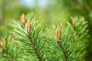 fleurs de pin au printemps photo