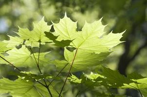 feuilles d'érable vertes