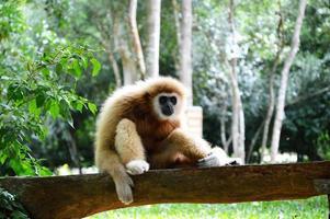 gibbon sur le journal photo