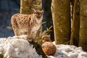 Portrait de lynx sur le fond de neige photo