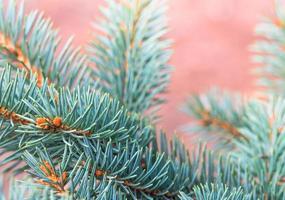 belles branches de sapin