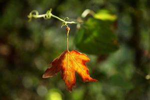 feuille orange avec fond vert photo