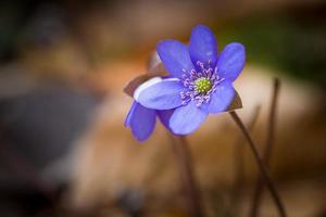fleurs d'hépatiques