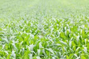 fermer le champ d'herbe verte photo