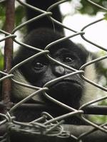 gibbon emprisonner photo