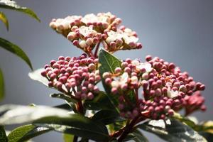 Viburnum tinus une plante de boule de neige à feuilles persistantes ou boule de neige méditerranéenne photo
