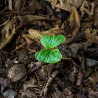 croissance des amandes tropicales.