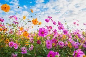 la fleur cosmos des prairies photo