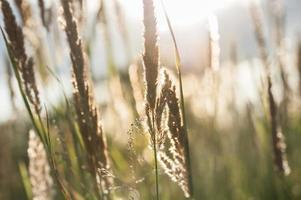 Image macro d'herbes sauvages au coucher du soleil photo