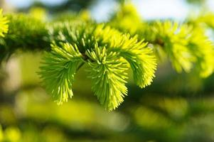jeune branche de pin