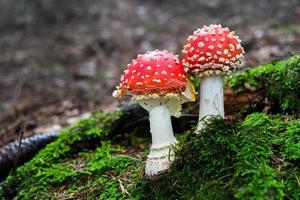 champignon amanita photo
