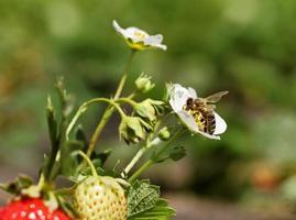 buisson de fraise. photo