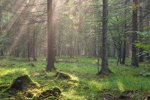la lumière du soleil brille sur les branches d'épinette photo