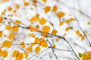 brach de bouleau d'automne photo