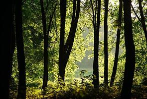 la lumière du soleil filtrant à travers les arbres dans les bois photo