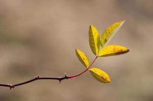 feuilles de bruyère