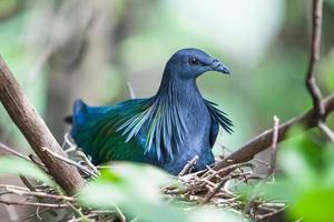 pigeon nicobar photo