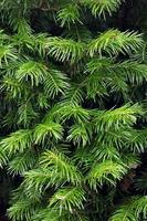 Texture de branches de sapin
