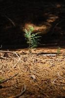 pousse de séquoia