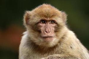 macaca sylvanus photo