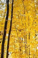 érable jaune