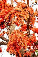 bengal kino, fleur de teck bâtard photo