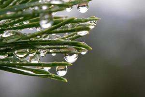 gouttes de pluie sur le pin