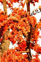 bengal kino, fleur de teck bâtard