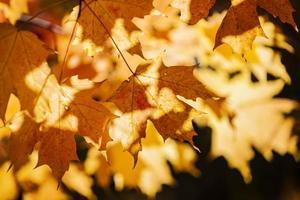 feuilles d'érable d'automne rétroéclairées