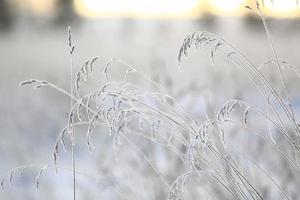 brindilles d'hiver et herbe couvertes de givre et de neige