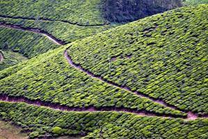 plantation de thé, récolte de thé