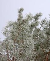 rameau de pin couvert de givre