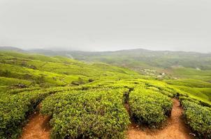 plantation de thé, récolte de thé photo