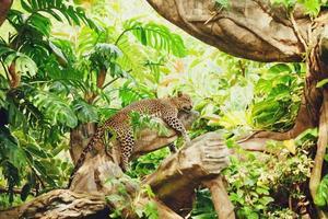 léopard couché (endormi) sur une branche d'arbre photo