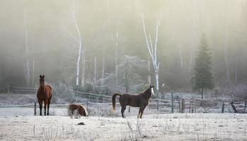 chevaux dehors dans un corral, gel début novembre.