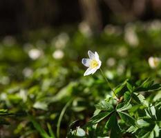 anémones blanches (anemone nemorosa).