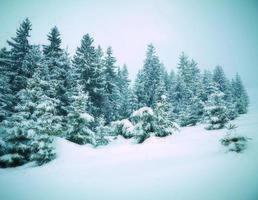 sapins couverts de neige photo