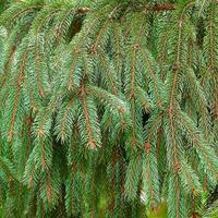 Branches épineuses d'un vert vif d'un arbre de Noël