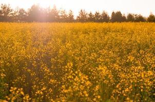fleurs jaunes sur le terrain