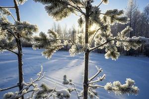 le soleil dans les branches enneigées des arbres.
