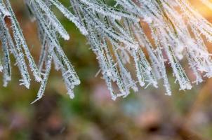 givre neige sur pin, épinette photo