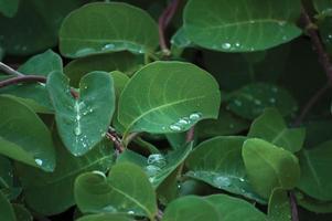 Jeunes feuilles fraîches et gouttes de pluie, grand gros plan détaillé photo