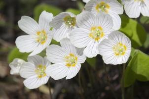fleurs d'oseille des bois (oxalis)
