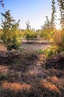 allée de pommiers au coucher du soleil, fond d'été naturel