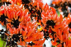 fleur de teck bâtard