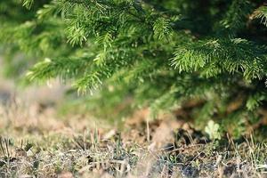 fond vert branches mélèze