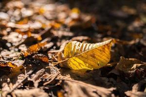 feuille d'automne flétrie.