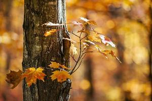 érable d'automne orange