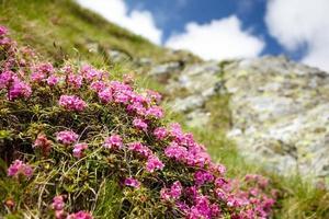 fleurs de montagne photo