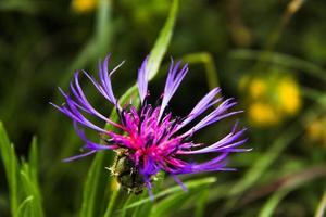 fleur de montagne-3 photo